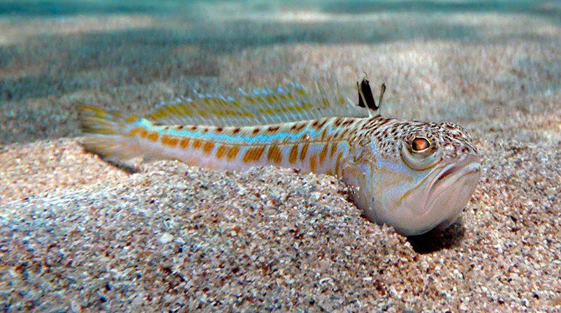 Viven en el mar mediterr neo animales potencialmente - Fotos de peces del mediterraneo ...